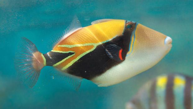 reef-triggerfish_620